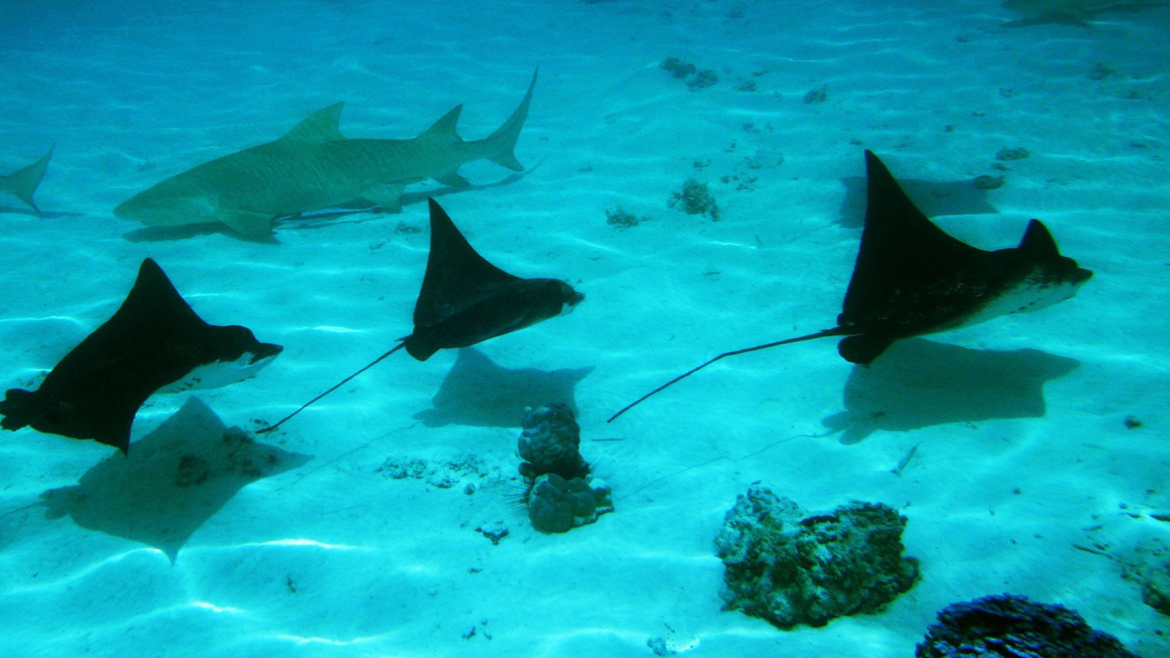 Snorkeling sous-marin avec des rayons à Tahiti